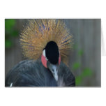 Curious African Crowned Crane