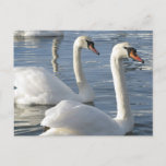 Swan Reflections Postcards